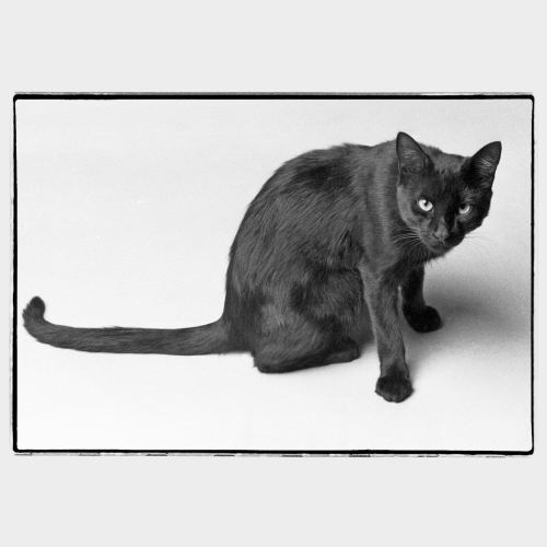 Scary black cat on white background
