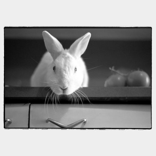 White rabbit looking in camera