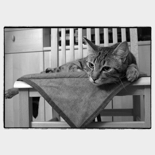 Grey cat looking at ease on chair with triangular fabric underneath